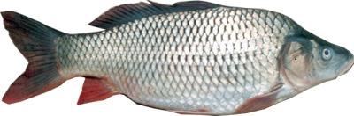 ماهیان گرم آبی