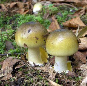تشخیص قارچ خوراکی از قارچ سمی