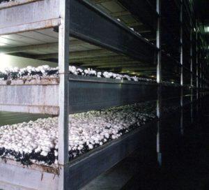 سالن پرورش قارچ استاندارد